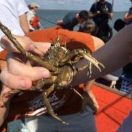 spider crab!