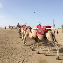 reliving the silk road, with camels and all!